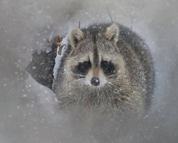 Snowy Raccoon Poster