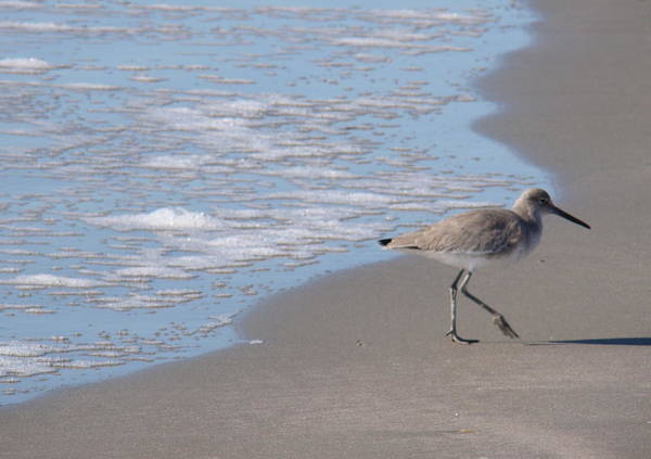 Solitary Willet Poster