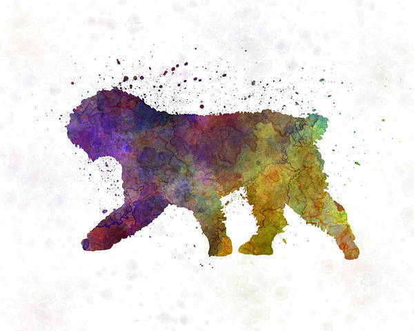 Spanish Water Dog In Watercolor Poster