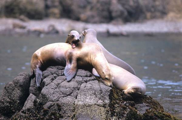 Spirited Sea Lions Poster