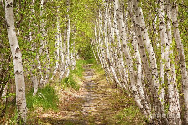 Spring Birch Poster