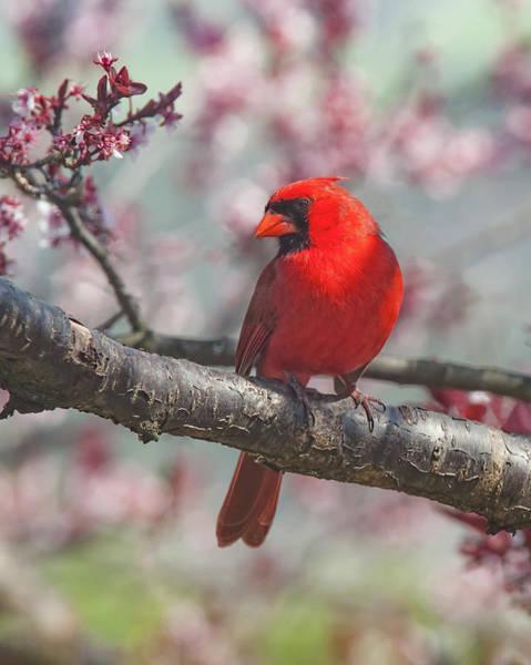 Spring Cardinal 2 Poster