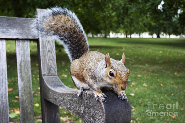 Squirrel Bench Poster