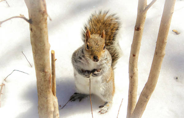 Poster featuring the photograph Squirrel In Snow by Alison Frank