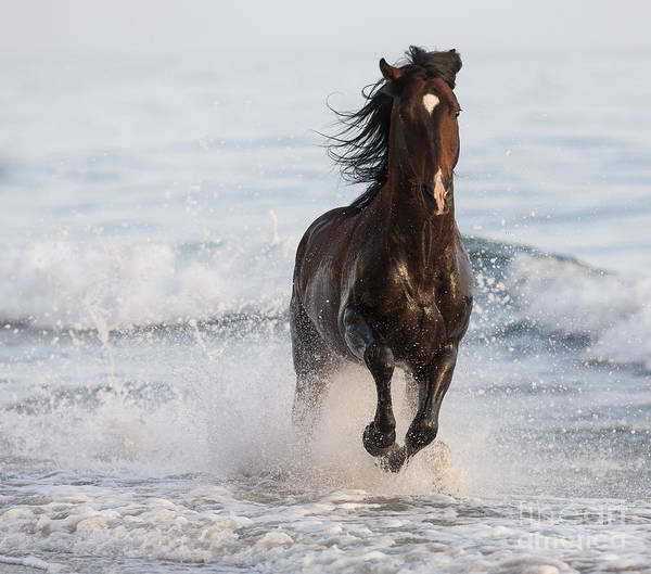 Stallion Leaps In The Surf Poster