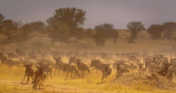 Stampede-serengeti Plain Poster