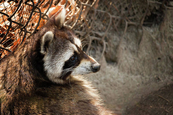 Staring Raccooon Poster