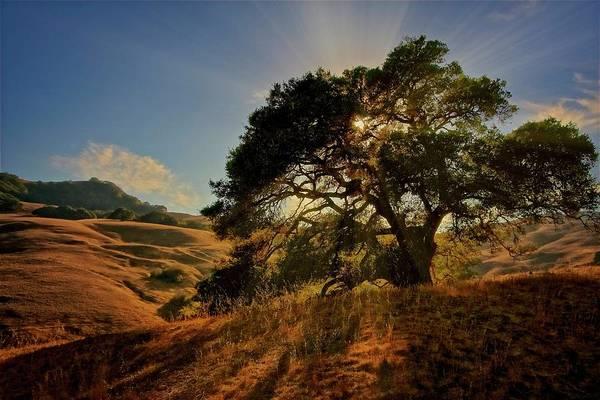Starlight, California Oak Poster