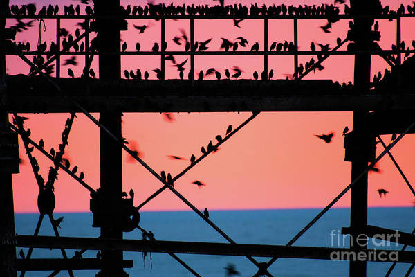 Starlings Under Aberystwyth Pier Poster