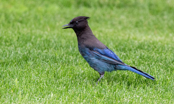 Steller's Jay On The Lawn Poster