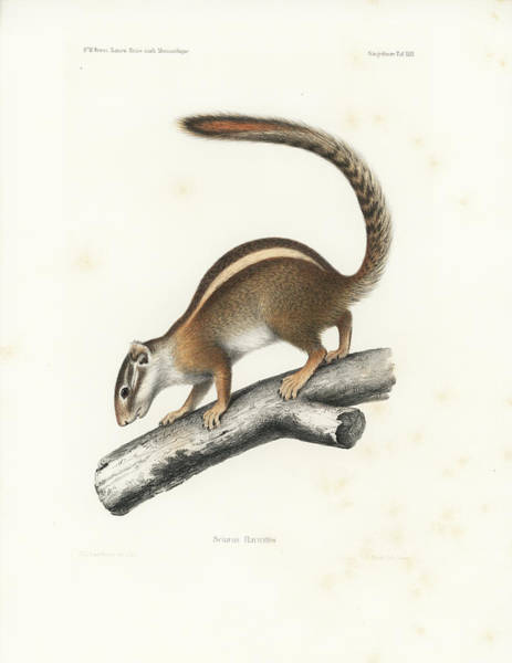 Poster featuring the drawing Striped Bush Squirrel, Paraxerus Flavovittis by J D L Franz Wagner