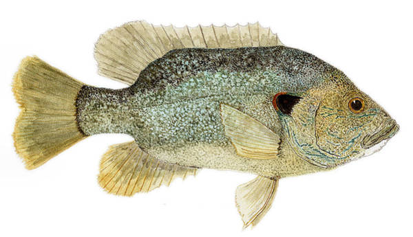 Study Of A Green Sunfish Poster