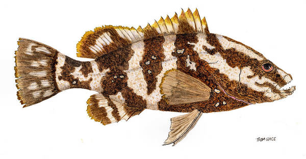 'study Of A Nassau Grouper' Poster
