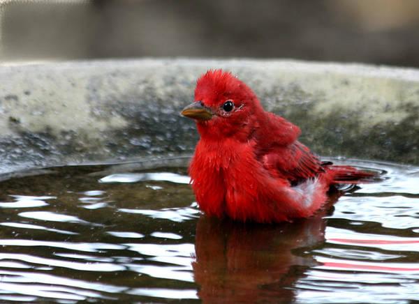 Summer Tanager In Bird Bath Poster