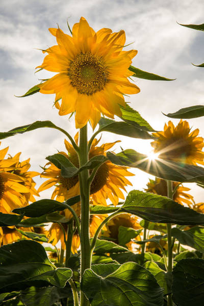 Sun And Sunflowers Poster