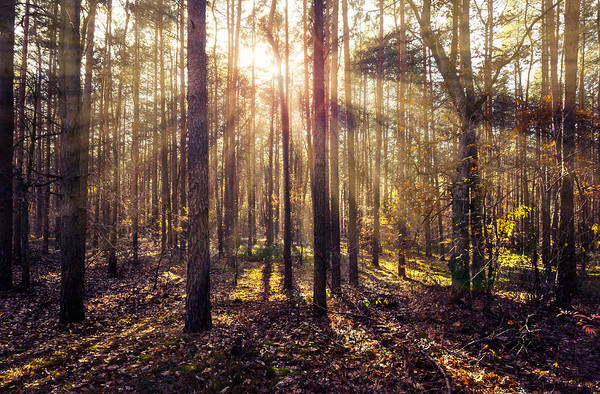 Sun Beams In The Autumn Forest Poster