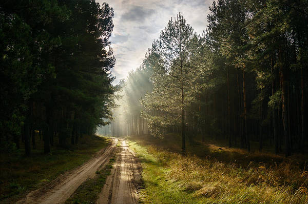 Sun Light At Pine Forest Poster