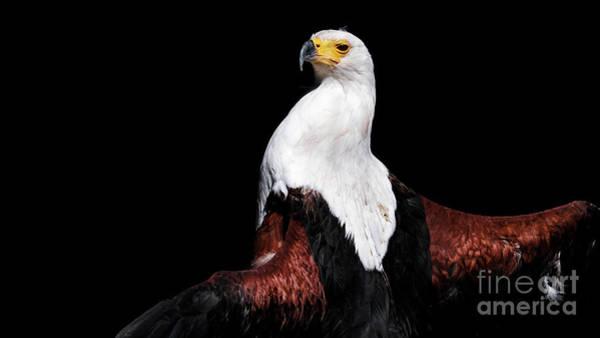 Sunbathing Eagle Poster