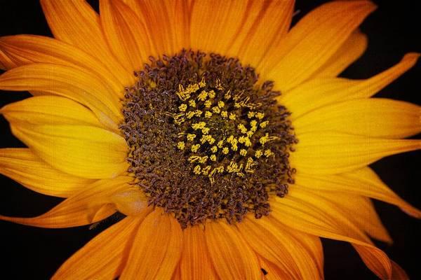 Sunflower Glory Poster