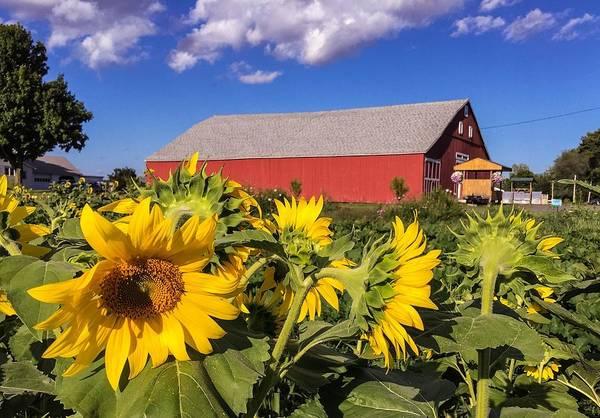 Sunflower Red Barn Poster