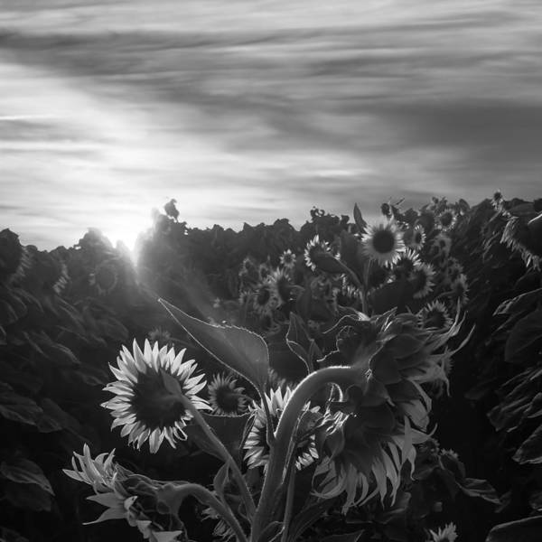 Sunflower Rise In Black And White Poster