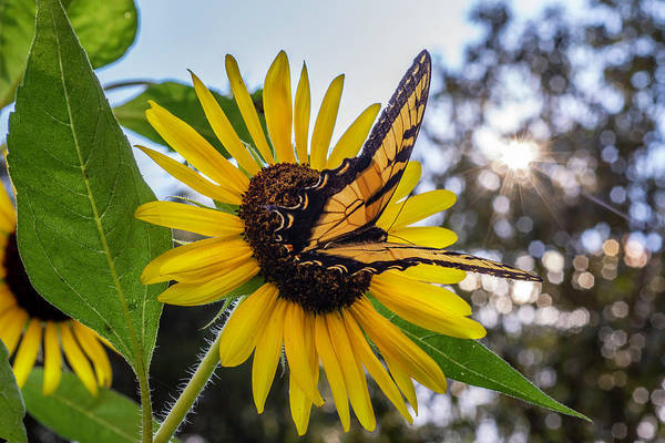 Sunflower Swallowtail Poster