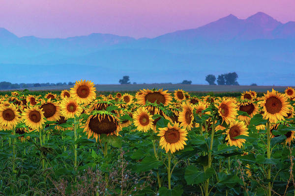 Poster featuring the photograph Sunflowers At Dawn by John De Bord