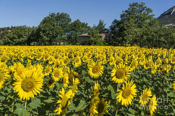 Poster featuring the photograph Sunflowers Provence  by Juergen Held
