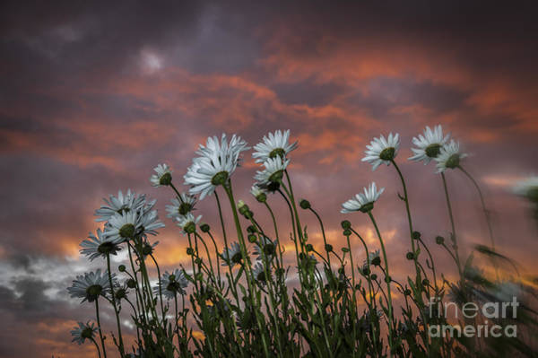 Sunset And Daisies Poster