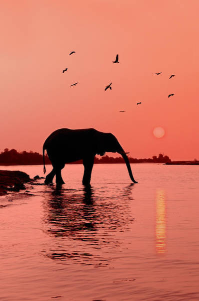 Sunset With Elephant Poster