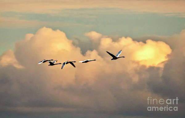 Swan Heaven Poster