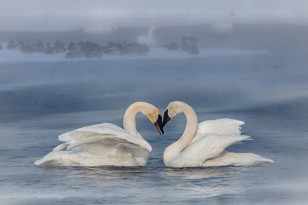 Poster featuring the photograph Swan Valentine - Blue by Patti Deters