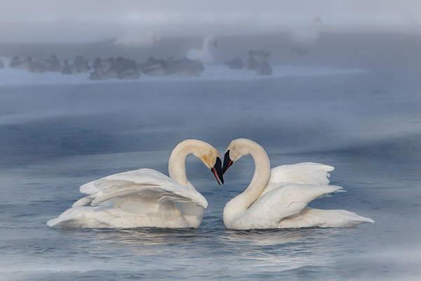 Swan Valentine - Blue Poster