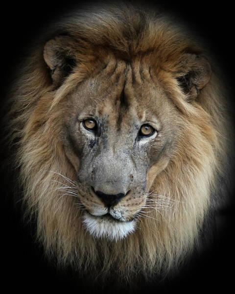 Sweet Male Lion Portrait Poster