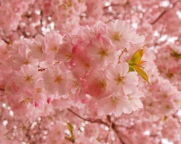 Sweet Pink- Holmdel Park Poster