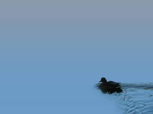 Swimming Duck Poster