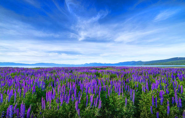 Tahoe Lupines Poster