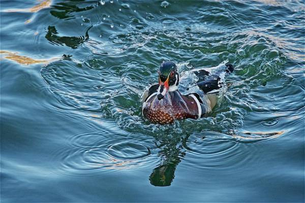 Taking A Dip, Wood Duck Poster