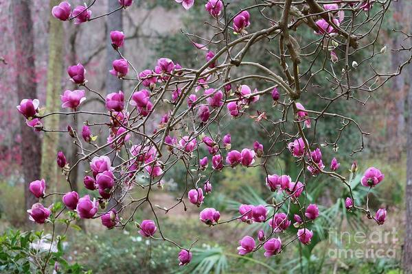 Tallahassee Treasures - Pink Magnolias Poster