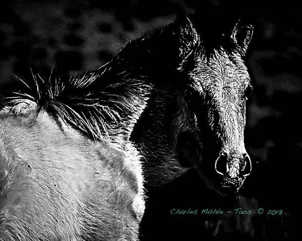 Taos Pony In B-w Poster