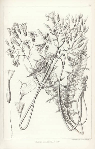 Poster featuring the drawing Taper Tip Hawksbeard, Crepis Acuminate by Antoine Sonrel