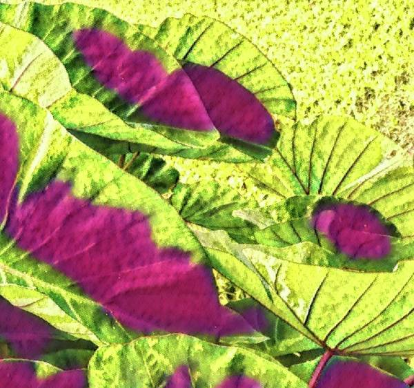 Taro Leaves In Green And Red Poster