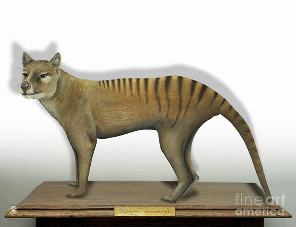 Tasmanian Tiger-thylacinus Cynocephalus-tasmanian Wolf-lobo De Tasmania-tasmanian Loup-beutelwolf    Poster