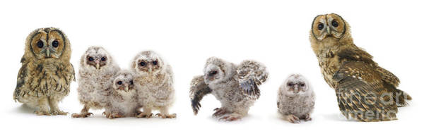 Tawny Owl Family Poster