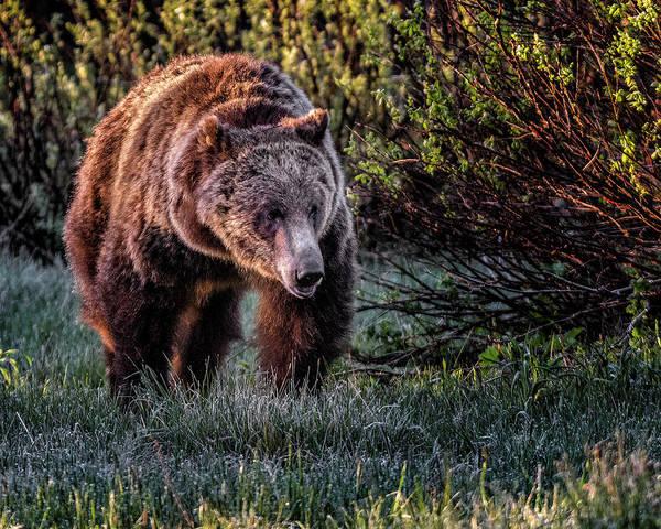 Teton Grizzly Poster