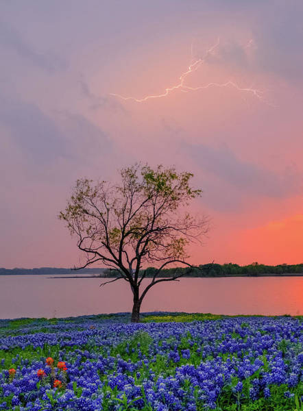 Texas Bluebonnets And Lightning Poster