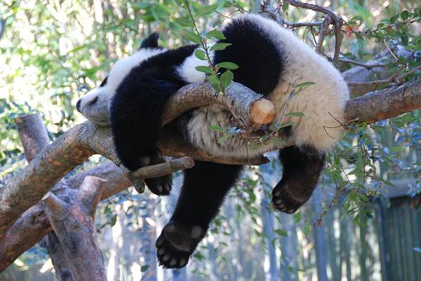 The Baby Panda's Sweet Dream Poster