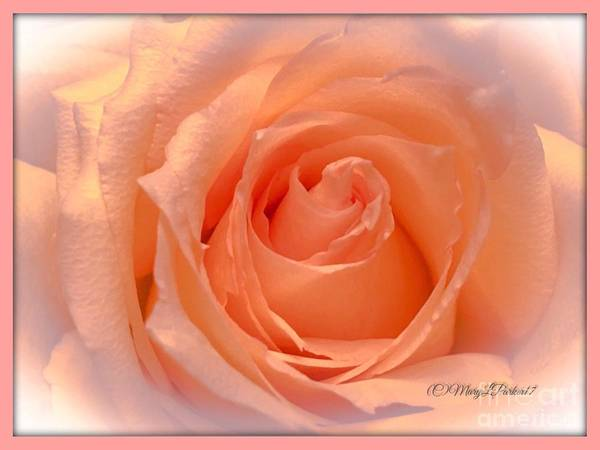 The  Beauty Of A Rose  Copyright Mary Lee Parker 17,  Poster