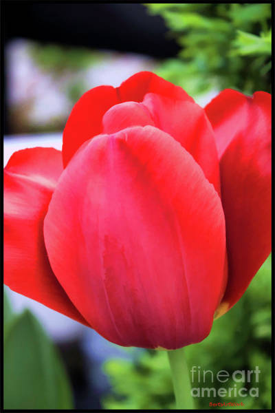 The Tulip Beauty Poster