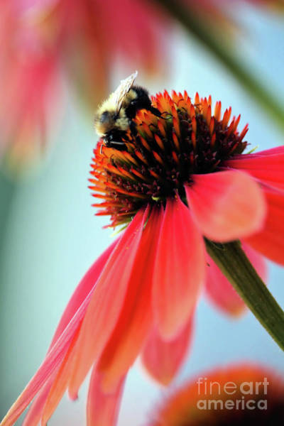 The Coneflower Collection 2 Poster